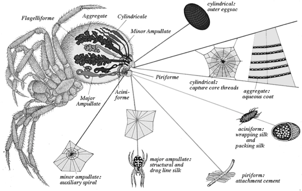 Figure 1 From Strength And Structure Of Spiders Silks