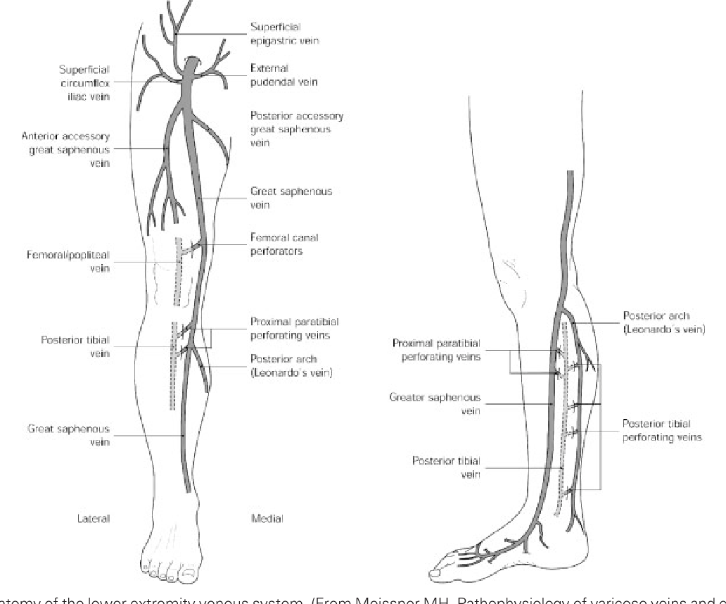 Figure 1 From Lower Extremity Venous Anatomy