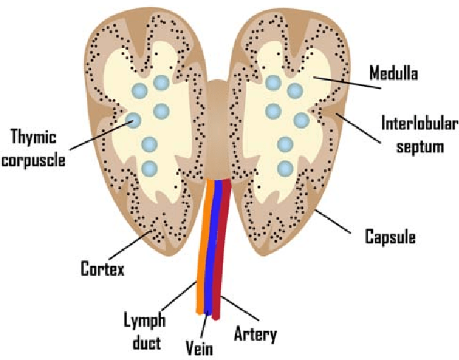 Figure 1 from Aging of lymphoid organs: Can ...