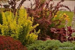 Thunbergi kukerpuud (Berberis thunbergii): kollase tooniga 'Maria' ja punane 'Pink Princess' (12.07.15)
