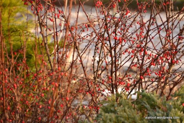 Talvised thunbergi kukerpuud (Berberis thunbergii) (29.12.15)