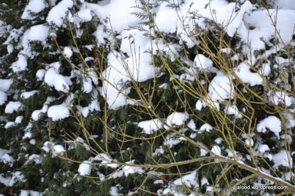 Võsund-kontpuu (Cornus sericea) 'Flaviramea', taustal elupuu (Thuja occidentalis) 'Brabant' (13.01.16)