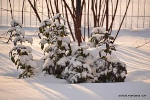 Lumega kaetud läiklehine mahoonia (Mahonia aquifolium) (14.01.16)