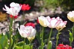 Tulp (Tulipa) 'Double Touch' (13.05.2016)