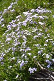 Õitsemist alustav padjand-leeklill e. padjandfloks (Phlox subulata) 'Emerald Cushion Blue' (13.05.2016)