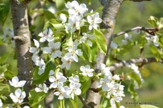Õitsev pirnipuu 'Pepi' (13.05.2016)