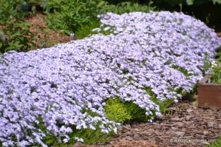 Padjand-leeklill e. padjandfloks (Phlox subulata) 'Emerald Cushion Blue' (27.05.2016)