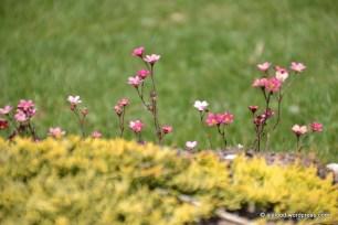 Künka tagant piiluvad noorukesed arendsi kivirikud (Saxifraga x arendsii) 'Purpurteppich' (27.05.2016)