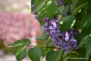 Harilik sirel (Syringa vulgaris) 'Katherine Havemeyer' (27.05.2016)
