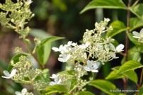 Aedhortensia (Hydrangea paniculata) 'Grandiflora' (27.07.2016)