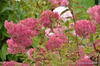 Aedhortensia (Hydrangea paniculata) 'Vanille-Fraise' (03.09.2016)