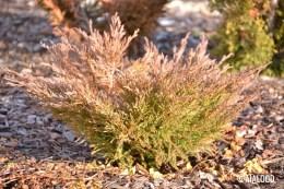Roomav kadakas (Juniperus horizontalis) 'Andorra Compact' (15.02.2017)