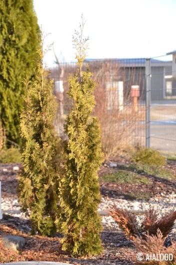 Harilik elupuu (Thuja occidentalis) 'Degroot's Spire' (15.02.2017)