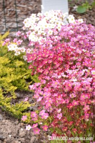 Arendsi kivirik (Saxifraga x arendsii) 'Purpurteppich' (31.05.2017)