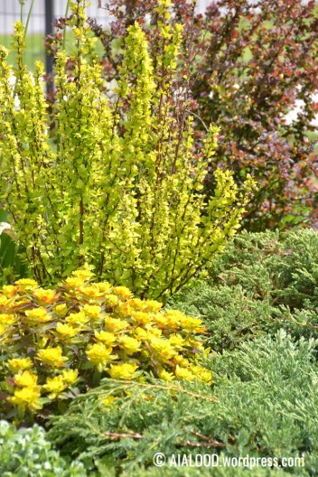 Kuldne-piimalill (Euphorbia polychroma) 'Bonfire', kirju kadakas (Juniperus squamata) 'Blue Carpet', Thunbergi kukerpuud (Berberis thunbergii) 'Maria' ja 'Pink Princess' (31.05.2017)