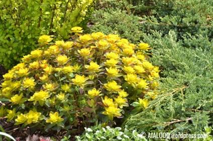 Kuldne-piimalill (Euphorbia polychroma) 'Bonfire' kirju kadaka (Juniperus squamata) 'Blue Carpet' embuses ja taustal paistmas veel Thunbergi kukerpuu (Berberis thunbergii) 'Maria' (31.05.2017)
