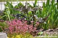 Arendsi kivirik (Saxifraga x arendsii) ja haruline lursslill (Cimicifuga ramosa) 'Carbonella' (07.06.2017)