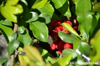 Hästi varjatud ilu. Kaunis ebaküdoonia (Chaenomeles x superba) 'Crimson and Gold' õied (16.06.2017)