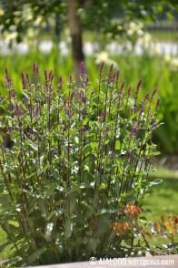 Metssalvei (Salvia nemorosa) 'Caradonna' (16.06.2017)