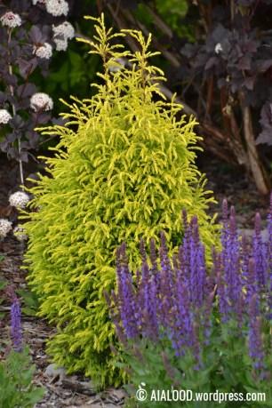 Harilik kadakas (Juniperus communis) 'Gold Cone', ees metssalvei (Salvia nemerosa) 'Ostfriesland` (29.06.2017)