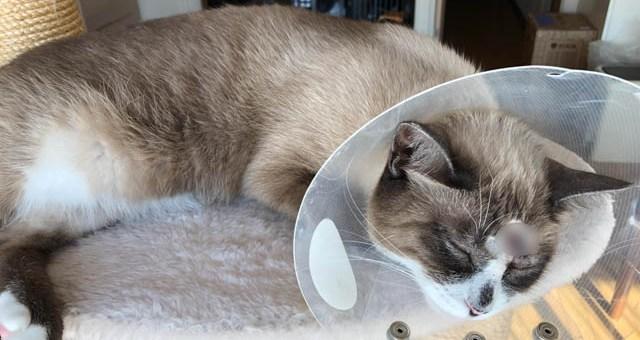 猫の皮膚の肥満細胞腫、その後