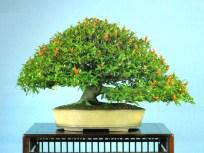 bonsai017