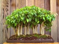 bonsai18-1
