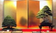 Chamaecyparis obtusa 80cm - Juniperus rigida 85cm