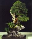 Juniperus chinensis - Manuel Diaz Hernandez (Espanha)