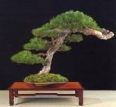 Pinus sylvestris - Luigi Garlaschi (Itália)