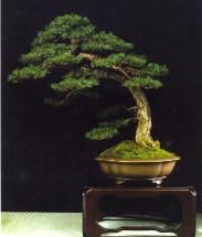 Pinus sylvestris - José Baliño Mosqueira (Espanha)