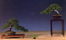 1˚premio (Shohin) - Jor Corstjens - Pinus parviflora/Junperus rigida - Moyogi/Moyogi - 20cm/21cm