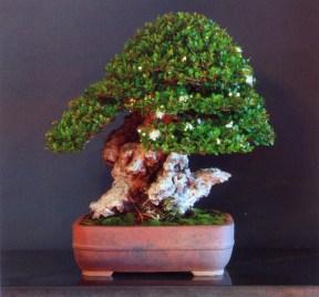 9˚ premio - Salvatore Liporace (Myrtus communis)