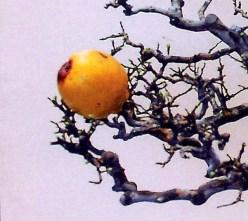pseud-5-fruto