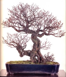 Hibai (japanese apricot) - 200 anos - 70cm