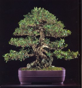 Ibota kusagi - 200 anos - 65cm