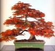 Japanese maple - 50 anos - 48cm