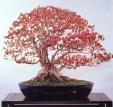 Torch azalea - 100 anos - 55cm