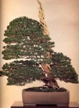 Sargent juniper - 350 anos - 140cm