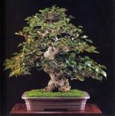 Ohamabo - 130 anos - 75cm