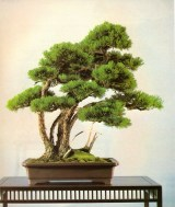 Japanese white pine - 85 anos - 72cm