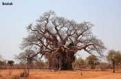 baobab-zimbabwe-1
