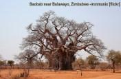 baobab-zimbabwe