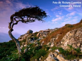bn21397_41-fbwind-sculpted-tree-on-rocky-hillside-connemara-ireland-posters