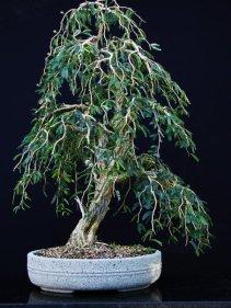 Umarizeiro-bravo (Calliandra spinosa)