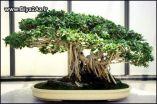 Japanese_Bonsai_Trees_1