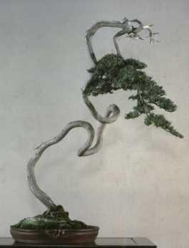 Juniperus019