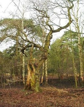 hollow_oak_170204