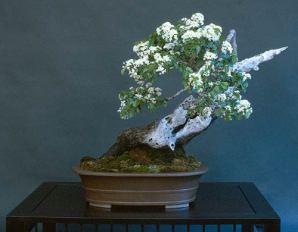 Liporace_PrunusMahaleb_10
