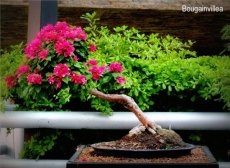 phoca_thumb_l_Bungainvillea pink pixie Trinitaria Inclinado DdP